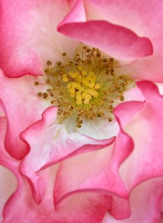 Sensual Rose Petal Design