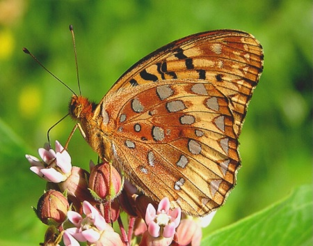 Nectaring Butterfly
