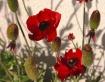 Poppies shadow bo...