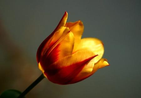 Perfect Tulip, Williamsburg, VA