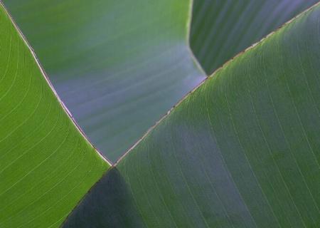 Banana leaf patterns 1