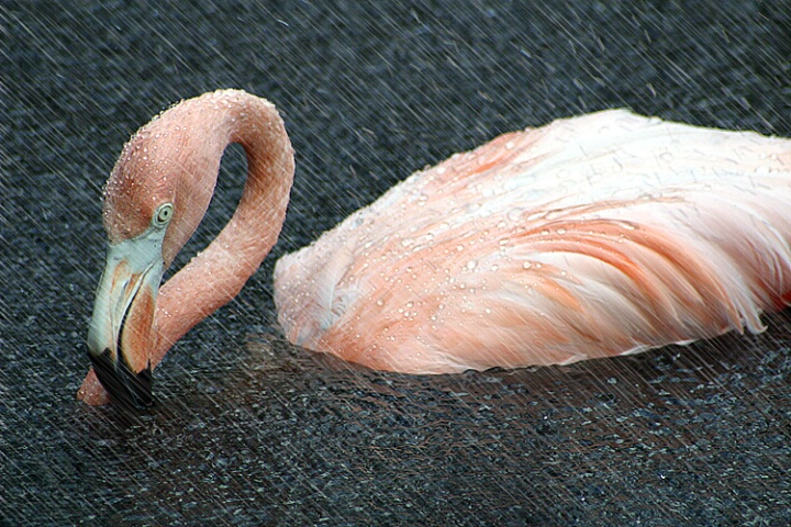 Flamingo in The Rain