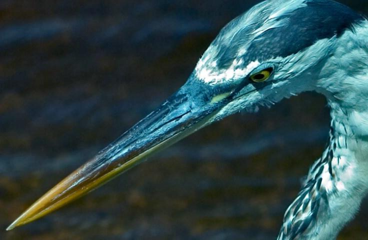 Stiletto Beak and Dagger Eyes