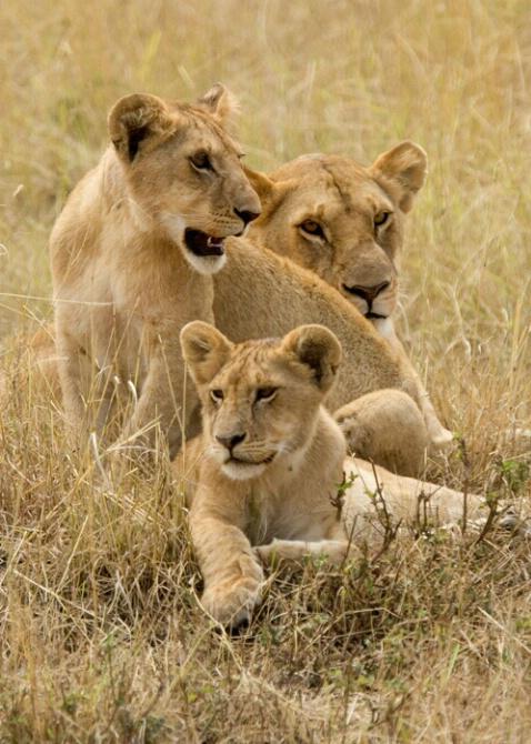 African Lion & Cubs