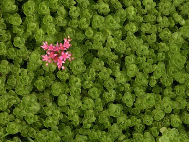 Rosy Succulent