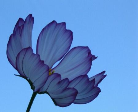 Blue Cosmos