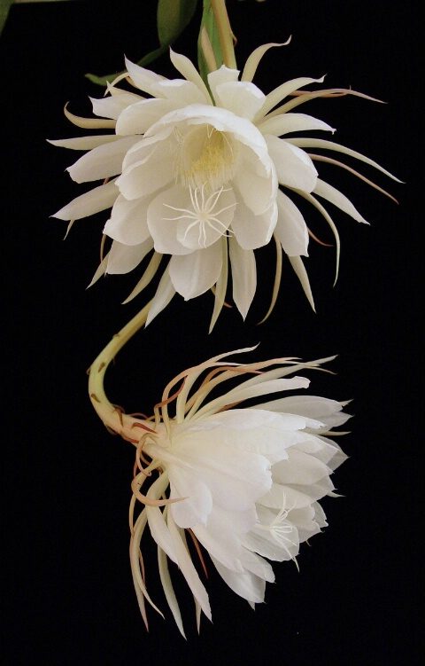 Epiphyllum - Two Blossoms