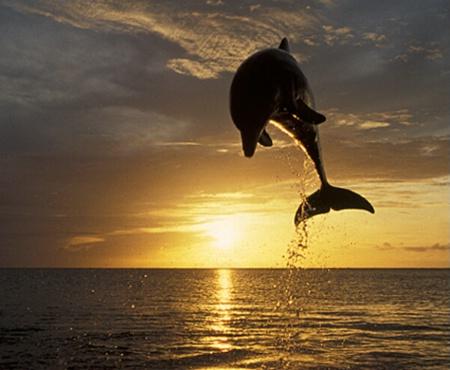 Dolphin Sunset 1