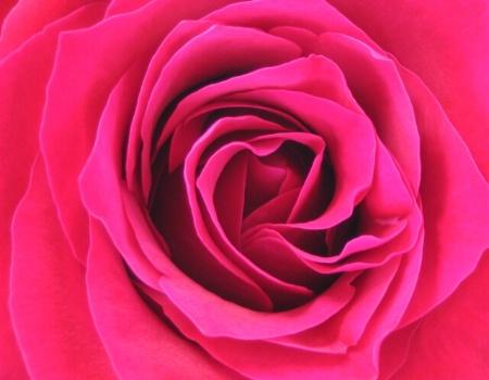 Annabelle's Rose