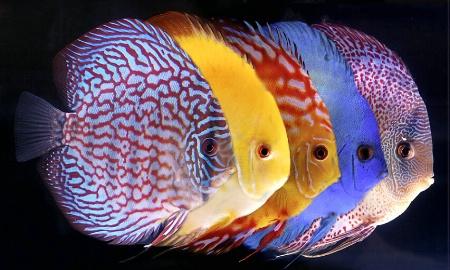 Chameleon fish