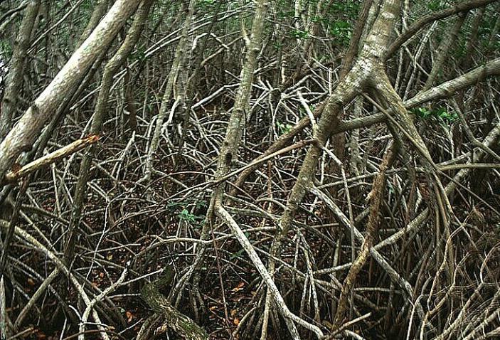 Web of Mangrove Shoots - ID: 562144 © Donald E. Chamberlain