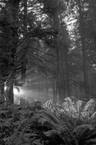 A light in the Forest B & W(13 of 20)