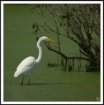 Egret  and the Gr...
