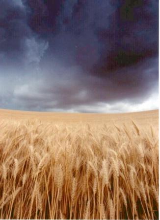 Wheat & Sky