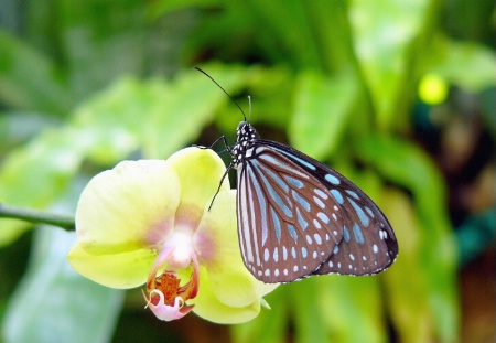 Butterlfly on Orchid