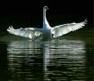 Spirit of the Swa...