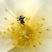 A Fly on Yellow !...