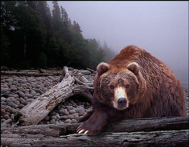 Bear on Pebble Beach