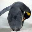 Pingu!