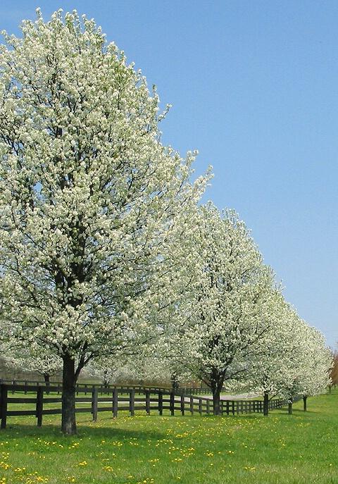 Blossom Row