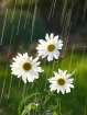 Daisies in the su...