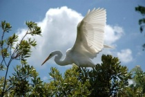 Great Egret Posing 2