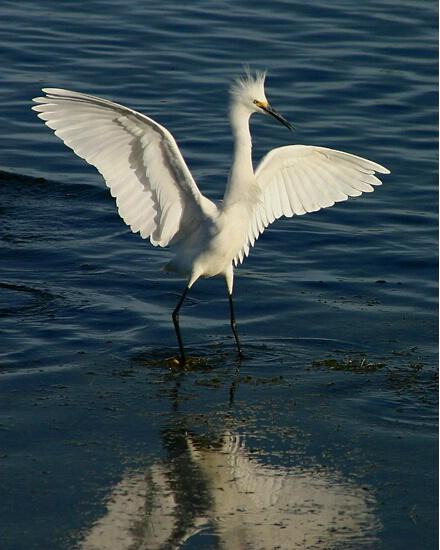 Arrogant Egret