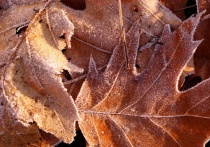 Morning Frosty Leaves