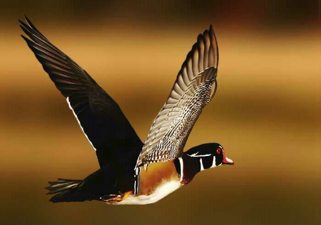 Airborne Wood Duck
