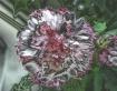 Chrome Carnation