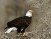 Snake river eagle