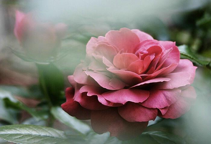 Rose 01 - ID: 639836 © Robert A. Burns