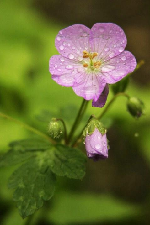 Wild Geranium 5-1-04 - ID: 641540 © Robert A. Burns