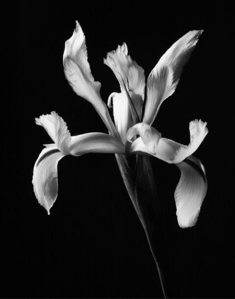 Iris in Black & White - ID: 643819 © Robert A. Burns