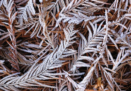 Frosted Fronds