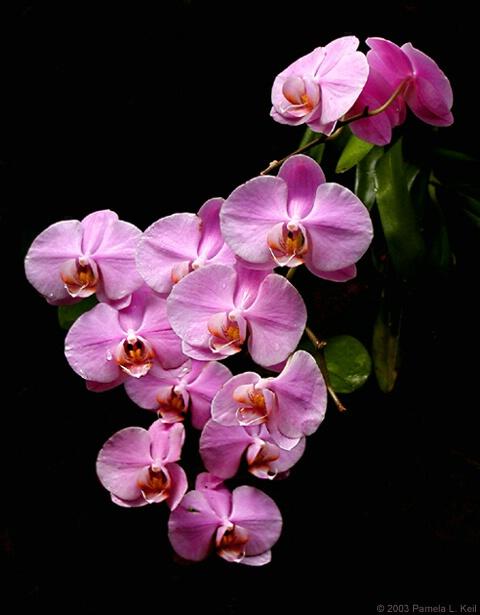 Falling Orchids II