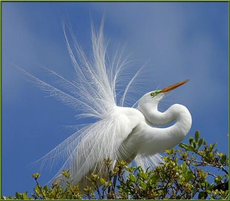 Egret in Plumage