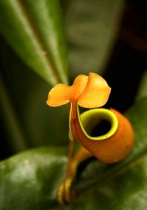 Into the Pitcher Plant