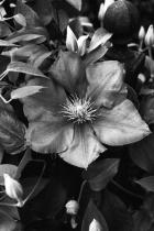 Black & White Clematis