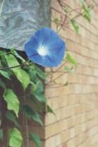 Blue Morning Glory # 2N
