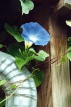 Blue Morning Glory # 4N