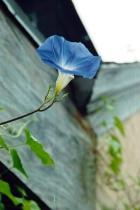 Blue Morning Glory # 5N