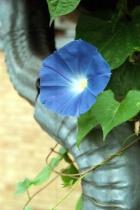 Blue Morning Glory # 8N