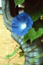 Blue Morning Glory # 9N
