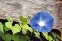 Blue Morning Glory # 10N