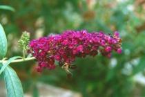 Purple Flowers W/Bee