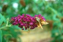 Purple Flowers W/Moth