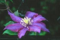 Purple Flower on Iron fence