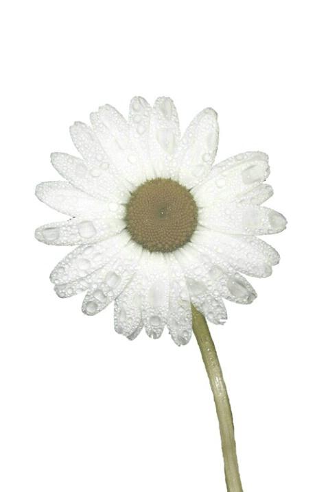 daisy dew - ID: 662757 © Heather Robertson