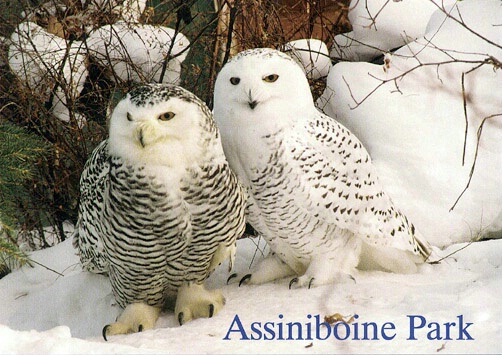 Snowy Owls - ID: 665255 © Heather Robertson